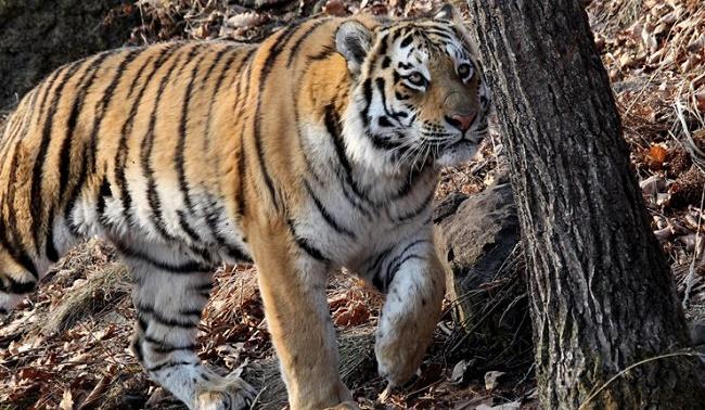 Putin diventano un caso diplomatico le tigri che sconfinano