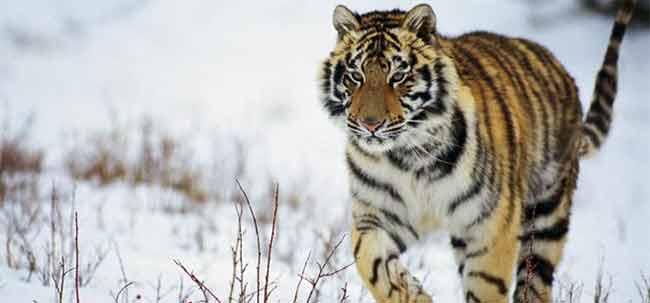 Tigri e Panda rischiano estinzione per il 2050