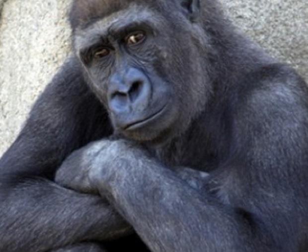 afroamericani-taggati-come-gorilla